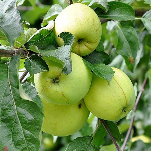 Яблоня Антоновка десертная