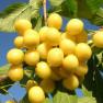 Черешня Приусадебная желтая