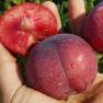 Шарафуга (гибрид абрикоса х сливы х персика)
