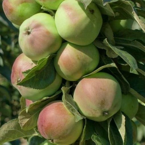 Яблоня  колоновидная Каскад