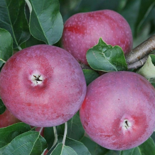 Яблоня Лобо
