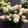 Гортензия  Little Blossom (Литл Блоссом)