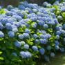 Гортензия Nikko Blue (Никко Блю)