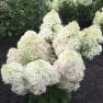 Гортензия Royal Flower (Роял Флауэр)