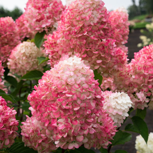 Гортензия Pink and Rose (Пинк энд Роуз)
