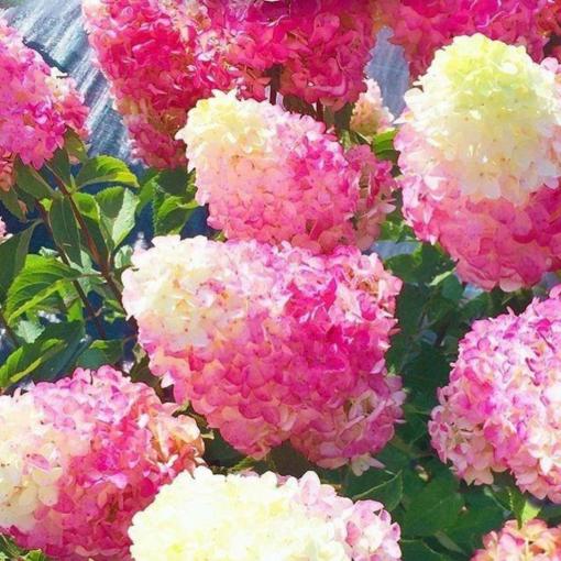Гортензия Strawberry Blossom (Строуберри Блоссом)