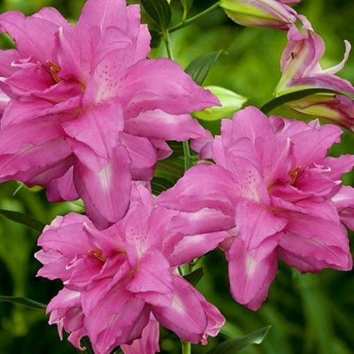Лилия Lotus Dream (3 луковицы)