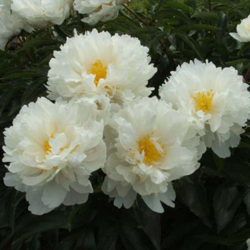 Пион Gardenia (Гардения)