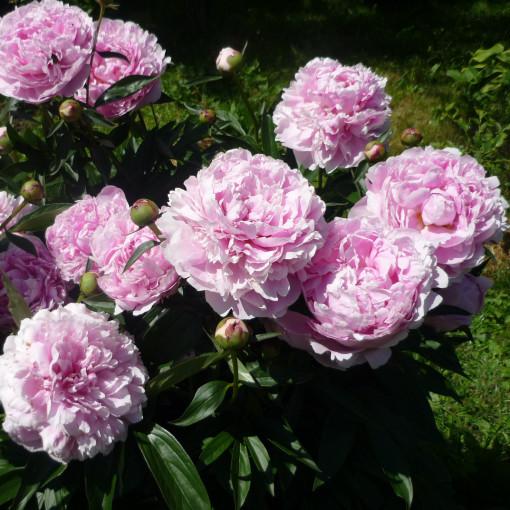 Пион Sarah Bernhardt (Сара Бернар)