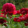 Пион Red Charm (Ред Чарм)