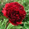Пион Red Double (Ред Дабл)