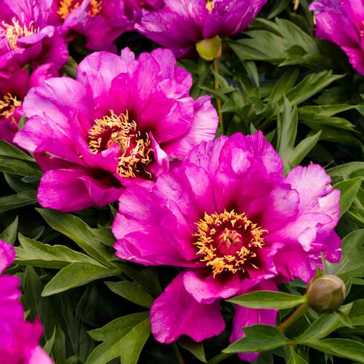 Пион Morning Lilac (Монинг Лилак) ИТО