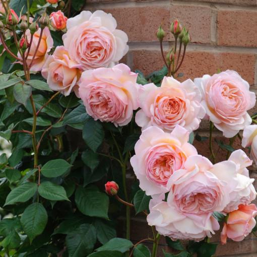 Роза A SHROPSHIRE LAD (Э Шропшир Лэд)