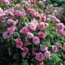Роза Gertrude Jekyll (Гертруда Джекилл)