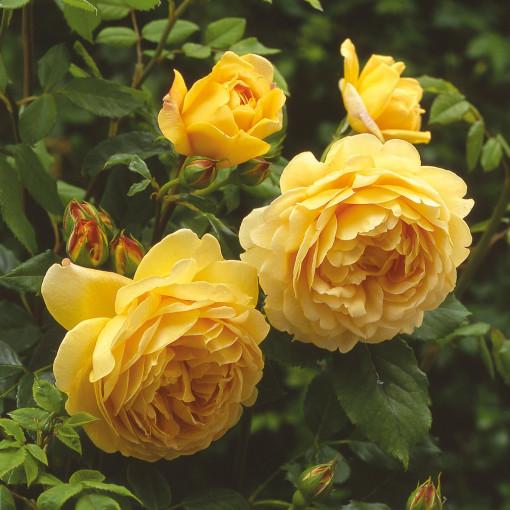 Роза Golden Celebration (Голден Селебрэйшн)