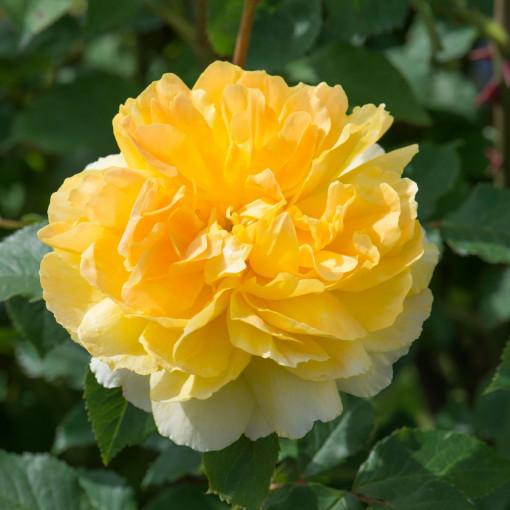 Роза Molineux (Молине)