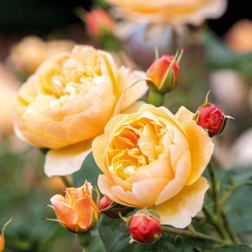 Роза Roald Dahl (Роальд Даль)