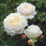 Роза Tranquillity (Транквиллити)