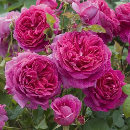 Роза  Young Lycidas  (Янг Люсидас)