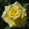 Роза Sterntaler (Штернталер)