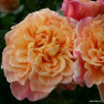 Роза Aloha ( Алоха)