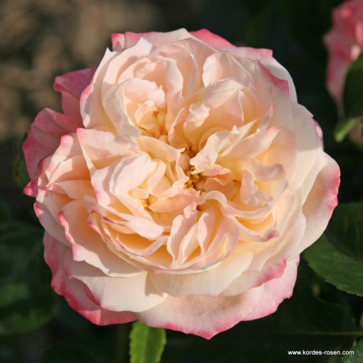 Роза Concorde (Конкорд)