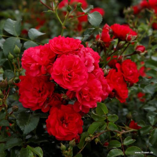 Роза Gartnerfreude / Toscana  (Гартнерфройде / Тоскана)