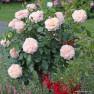 Роза Garden of Roses (Гарден оф Роузес)