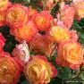 Роза Gartenspab (Гартенспасс)