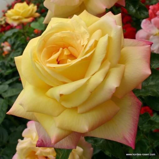 Роза Gloria Die (Глория Дей)