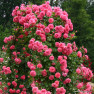 Роза Rosarium Uetersen ( Розариум Ютерсен)