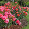 Роза Sommersonne (Зоммерзонне)