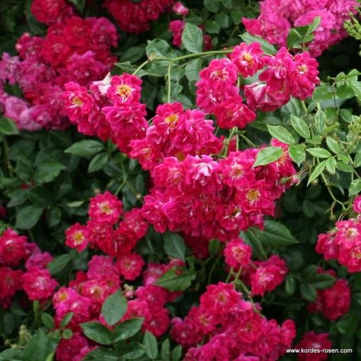 Роза Super Excelsa (Супер Эксцельза)