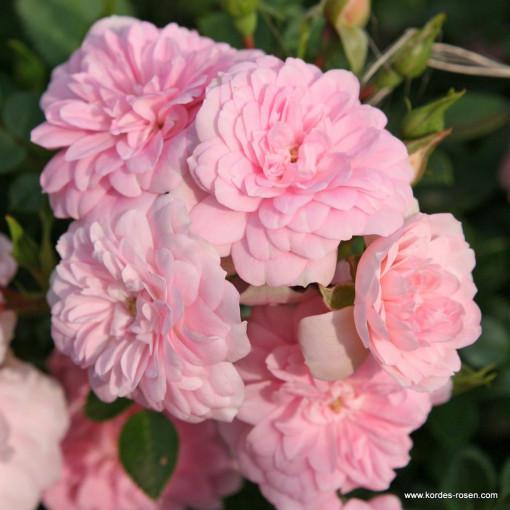 Роза Sweet Knirp (Свит Книрпс)