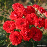 Роза Zwergenfee (Звергенфее)