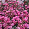 Роза Pomponella (Помпонелла)