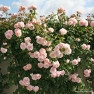 Роза Rose de Tolbiac  (Роз де Толбиак)