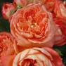 Роза Queen of Hearts (Куин оф Хартс)