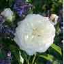 Роза Albaster (Алабастер)