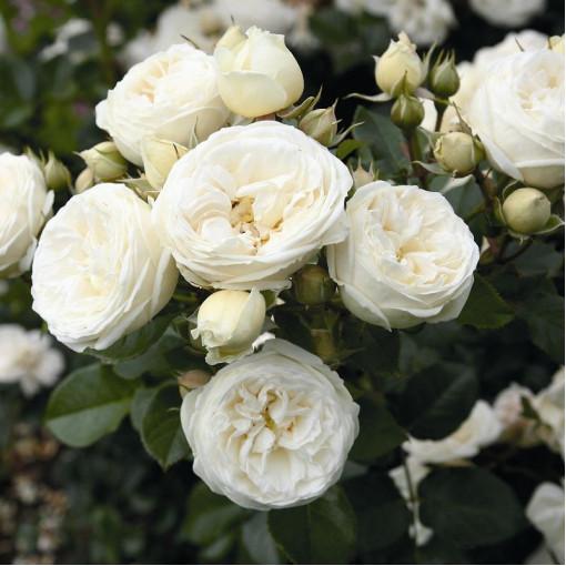 Роза Artemis (Артемис)