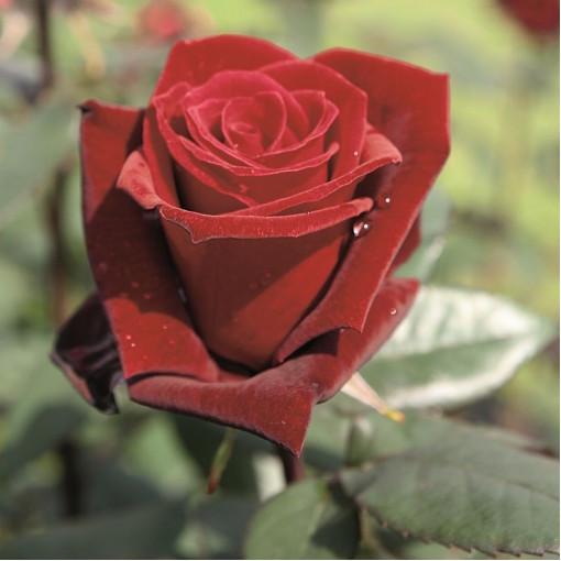 Роза Barkarole (Баркароле)