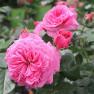 Роза Baronesse ( Баронесса)
