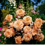Роза Belvedere (Бельведер)