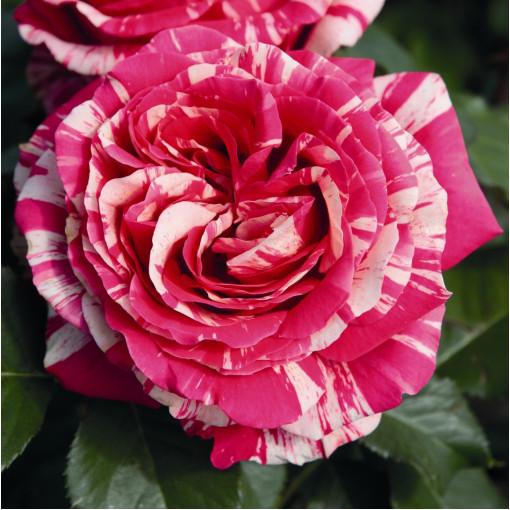 Роза Best Impression (Бест Импрешн)