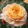 Роза Capri (Капри)