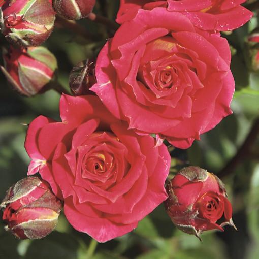 Роза Chili Clementine (Чили Клементин)