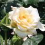Роза Comtessa (Комтесса)