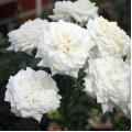 Розы Tantau