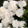 Роза Kastelruther Spatzen Rose (Кастельрутер Шпатцен)