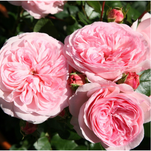 Роза Mariatheresia (Мария Терезия)